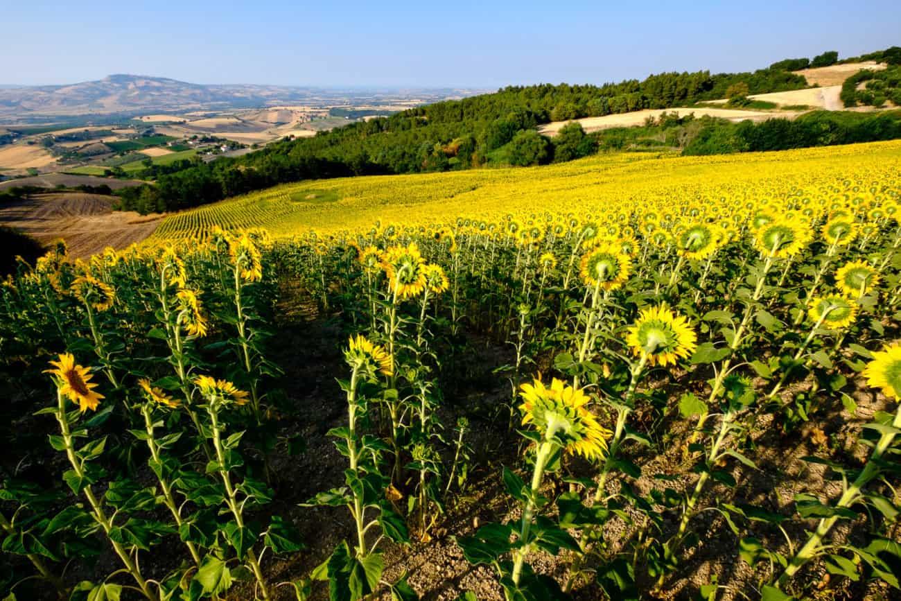 Słoneczniki Włochy kamperem | Wypożyczalnia kamperów